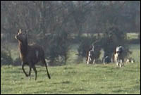 Deer being chased across field by hounds