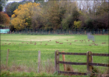 Dozens of hares in a coursing club enclosure