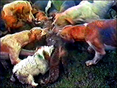 Foxhounds and terrier biting into the body of a fox